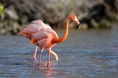 Greater Flamingo - Isla Santa Cruz, Galapagos, Ecuador