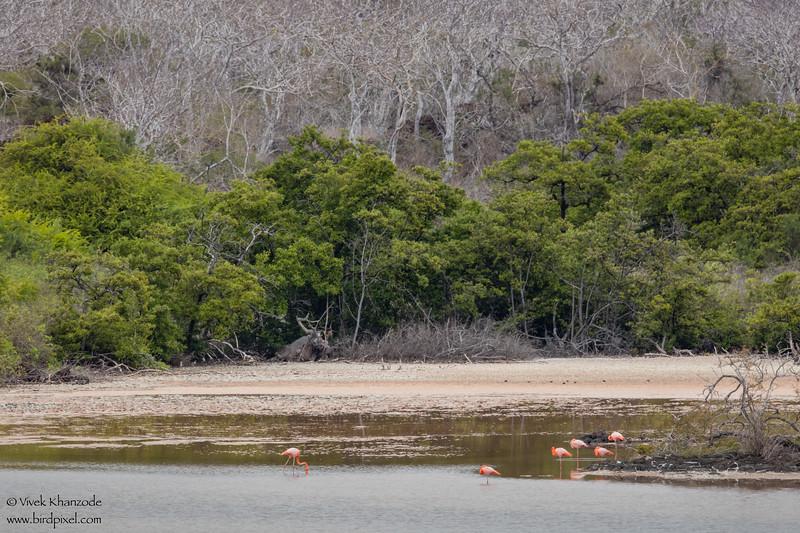 Greater Flamingo - Galapagos, Ecuador