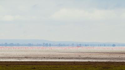 Greater Flamingoes - Lake Manyara National Park, Tanzania