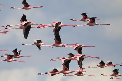 Lesser Flamingo - Arusha National Park, Tanzania