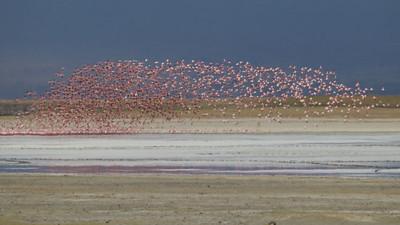 Lesser Flamingoes flying over Soda Lake - Ngorongoro Crater, Tanzania