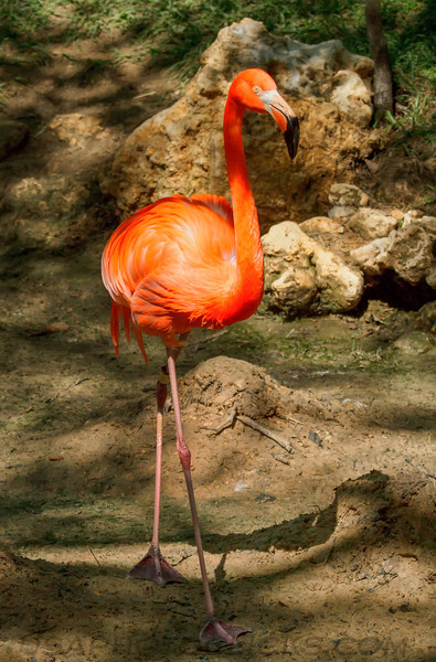 Greater Flamingo (00611)