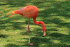 Greater Flamingo (00602)