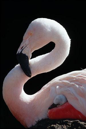 Flamingo with baby, San Francisco Zoo, San Francisco, California