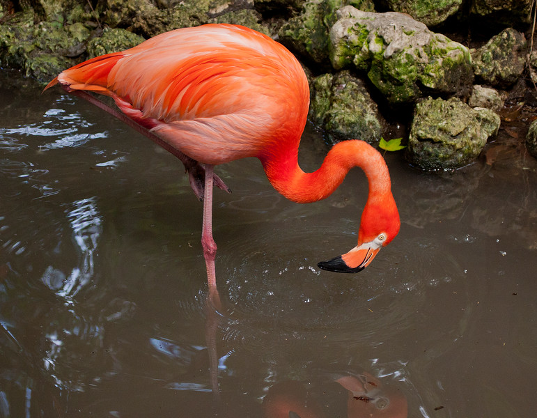 Florida Flamingo watching its reflection
