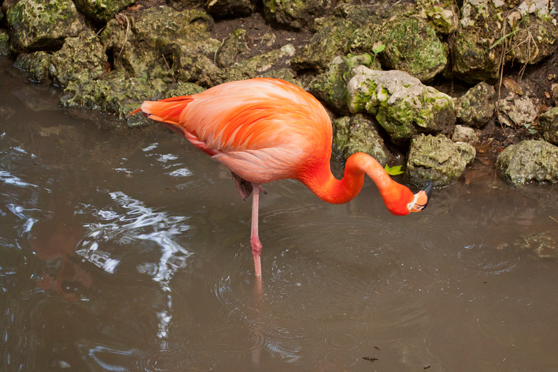 Florida Flamingo turning its head upward