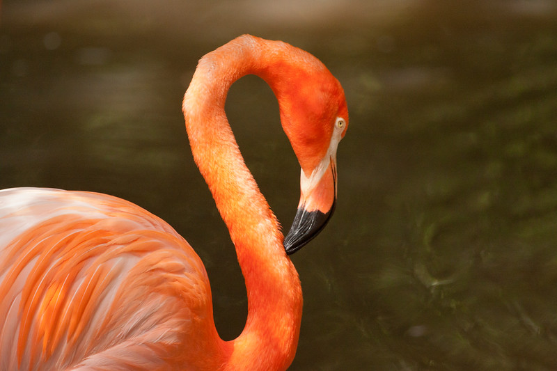 Florida Flamingo