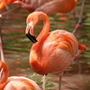 Florida Flamingo preening