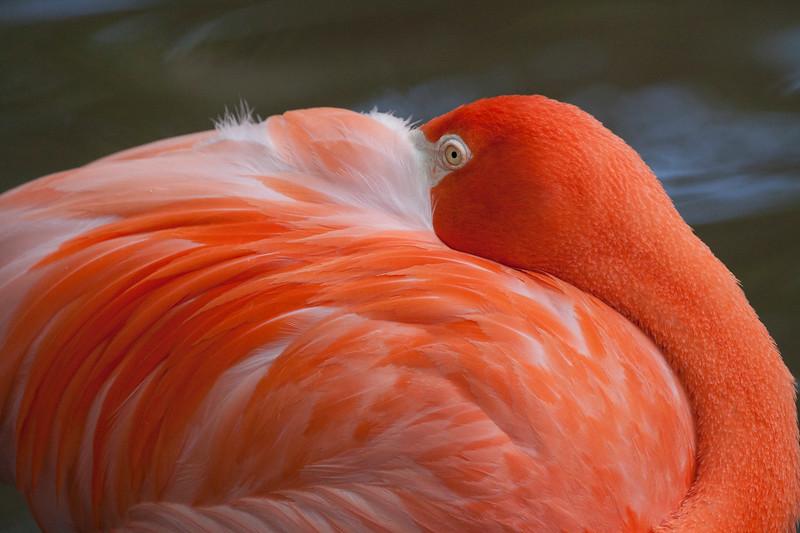 Florida Flamingo sleeps