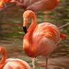Florida Flamingo standing in water