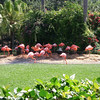 Florida Flamingos grouped at the water's edge