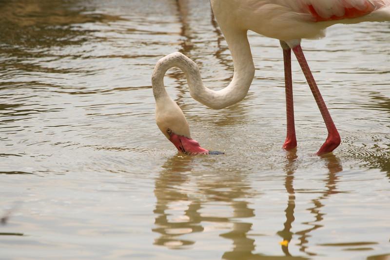 Amlost white Florida Flamingo