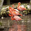 Florida Flamingos standing in the water