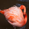 Florida Flamingo preening it s beautiful feathers