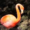 Florida Flamingo showing it long neck