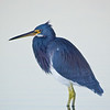 Tricolored Heron, Fort De Soto Park, Florida