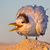Royal Tern, Bowman's Beach at sunset, Sanibel Island, Florida