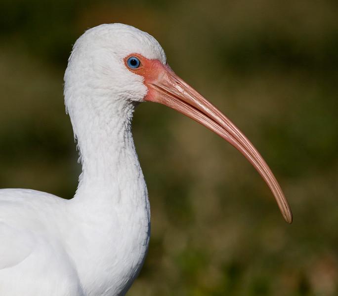 White Ibis, Lake Morton, Lakeland, Florida