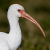 White Ibis, Lake Morton, Lakeland, Florida