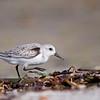 Sanderling, Bowman's Beach, Sanibel Island, Florida