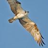 Osprey, Fort De Soto Park, Florida