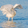 Reddish Egret white morph foraging behaviour, Fort De Soto, Florida