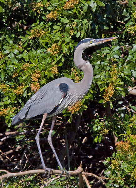 Great Blue Heron, Venice rookery, Venice, Florida