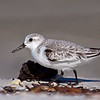 Sanderling, Bowman's Beach, Sanibel Island, Florida