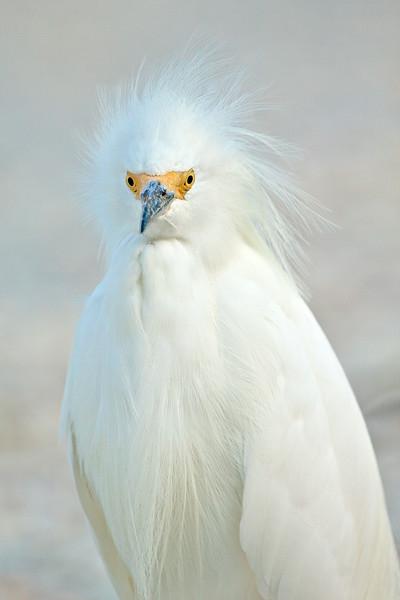 Snowy Egret, Sanibel Island Fishing Pier, Florida