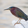 Green Heron, Tampa, Florida