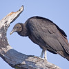 Black Vulture, south of Kissimmee, Florida