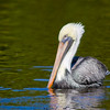 Brown Pelican, Ding Darling NWR, Sanibel Island, Florida