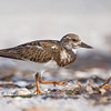 Ruddy Turnstone, Sanibel Island Fishing Pier, Florida