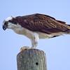 Osprey, Sanibel Island, Florida