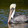 Brown Pelican, Ding Darling NWR, Sanibel Island, Florida
