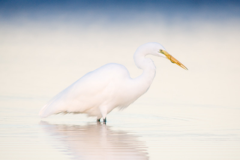 Great Egret with breakfast, Fort De Soto Park, Florida