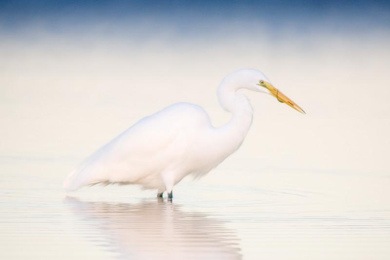 Great Egret with breakfast, Fort De Soto Park, Florida