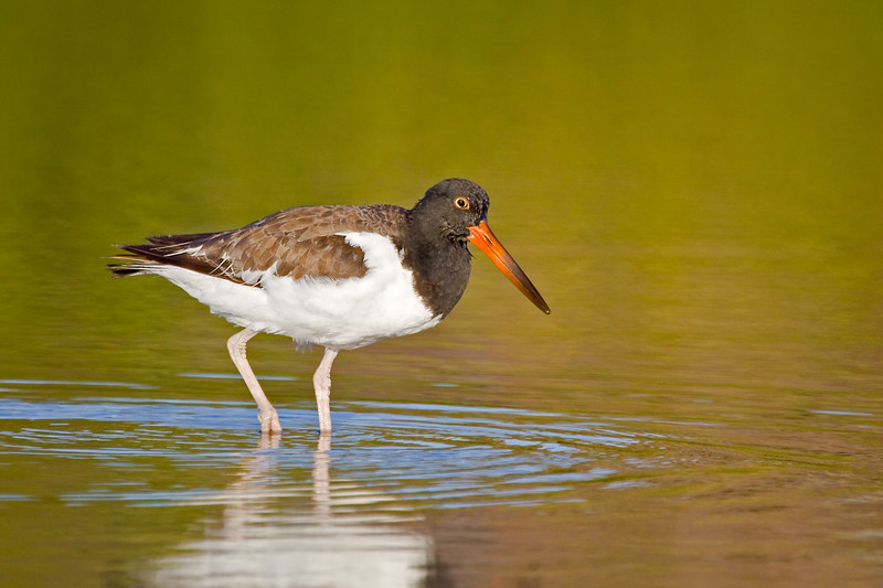 American Oystercatcher, Little Estero Lagoon, Fort Myers Beach, Florida
