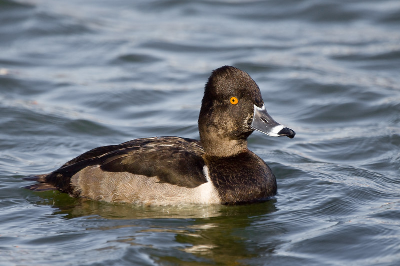 Ring-necked Duck, male, Lake Morton, Lakeland, Florida