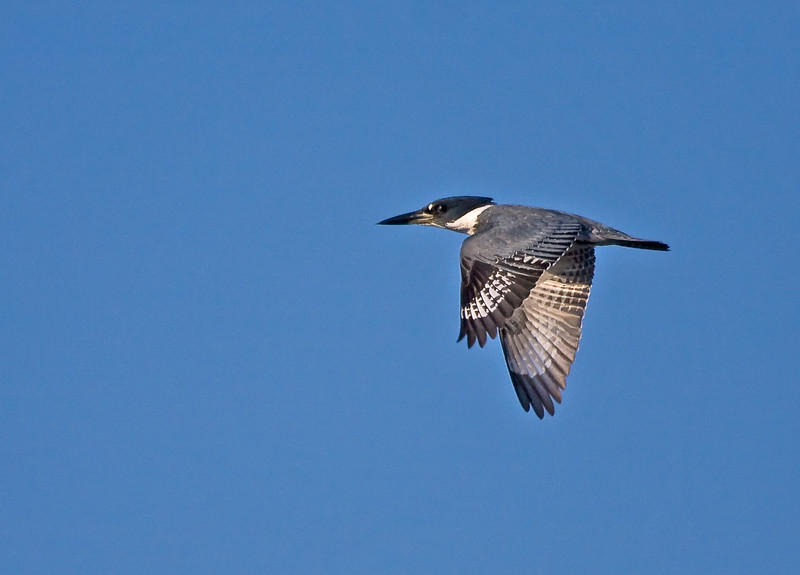 Belted Kingfisher, Canoe Creek Road area south of Kissimmee, Florida
