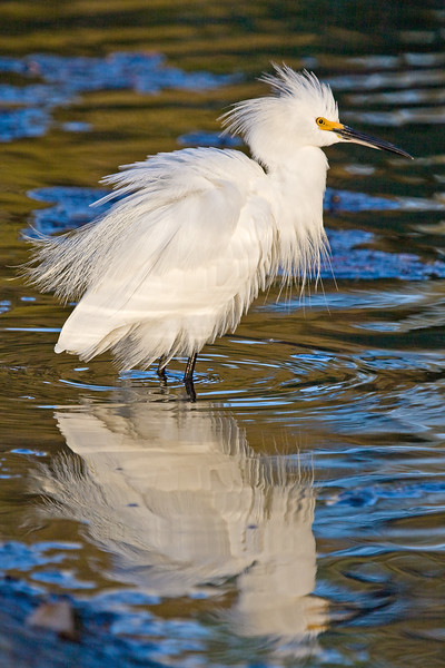 Snowy Egret, Orange Lake, Florida