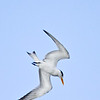 Royal Tern, diving, Sanibel Island Fishing Pier, Sanibel, Florida