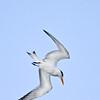Royal Tern, diving, Sanibel Island Fishing Pier, Sanibel, Florida