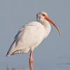 White Ibis, Fort De Soto, Florida