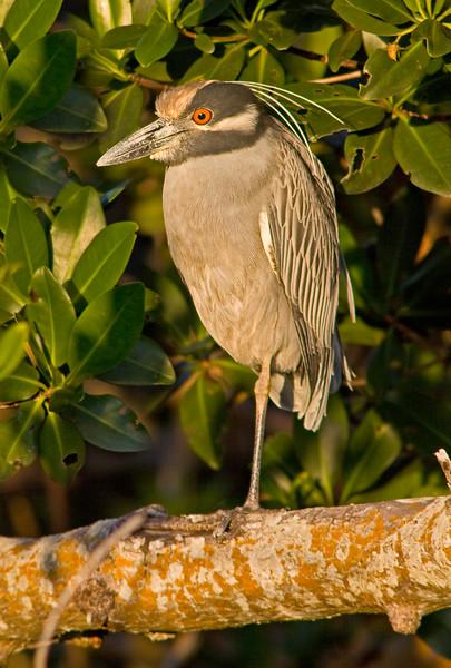 Yellow-crowned Night-Heron, Ding Darling NWR, Sanibel Island, Florida