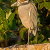 Yellow-crowned Night-Heron, Ding Darling NWR, Sanibel Island, Florida