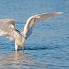 Reddish Egret white morph foraging behaviour, Fort De Soto, Florida