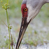 Sandhill Crane, Cypress Lake, south of Kissimmee, Florida