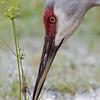 Sandhill Crane, Cypress Lake, south of Kissimmee, Florida