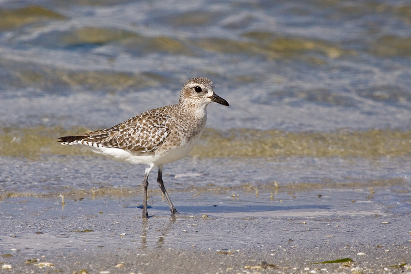 Black-bellied Plover, Sanibel Island Causeway, Florida